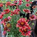 'Arizona Red Shades' gaillardia IMG-8370.jpg