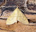 (1374) Paratalanta hyalinalis (19397767894).jpg