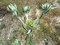 (ALB) F. pyramidata-6.jpg
