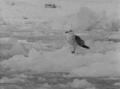 (Jubany) Paloma Antartica (1).png