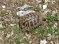 Ελληνική χελώνα στον Αίνο.jpg