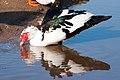 Κουκουναριές πουλί.jpg