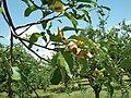 Болезни и физиол. нарушения яблони - хлороз.jpg