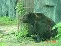 Ведмідь у київському зоопарку.jpg