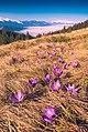 Весняні крокуси на Кукулі.jpg