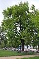 Вікове дерево дуба-красеня, Харківське шосе — вул. Вербицького 01.jpg