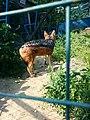 Зоологічний парк - Шакал спостерігає.jpg