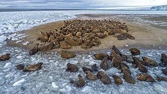 Northbrook Island - A herd of walruses on Northbrook Island