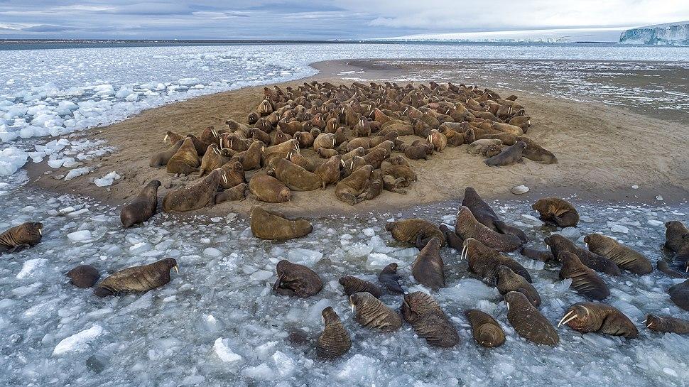 Лежка моржей на острове Нортбрук