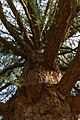 Ствол и ветки Лиственницы вид снизу вверх.jpg