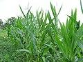 Судиивка. Поля кукурузы - panoramio.jpg