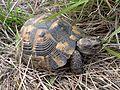 Шипобедрена костенурка.JPG