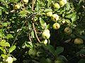 Яблоки на яблоне.jpg