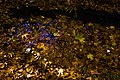 برگ روی برکه-پاییز-Floating leaves fallen from trees 02.jpg