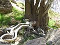 درختی با تنه 3متری - panoramio.jpg
