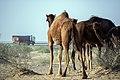 چرای گله شتر - حوالی کاروانسرای دیر گچین قم - پارک ملی کویر 09.jpg