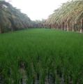 کشاورزی در لاشار جنوبی.png