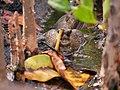 ปลาตีน สวนสัตว์เชียงใหม่ Mudskipper in Chiang Mai Zoo (3).jpg
