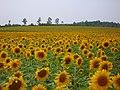 ヒマワリ畑(北竜町)-Sunflower field(Hokuryu-tyou) - panoramio.jpg