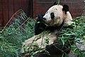 大熊猫 Big Panda Большая панда (7893953132).jpg