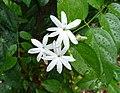 扭肚藤 Jasminum elongatum -新加坡植物園 Singapore Botanic Gardens- (14913315233).jpg