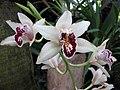 獨占春 Cymbidium eburneum -日本大阪鮮花競放館 Osaka Sakuya Konohana Kan, Japan- (41355924604).jpg