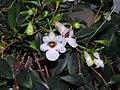 玉唇花 Codonanthe gracilis -香港花展 Hong Kong Flower Show- (9227115305).jpg