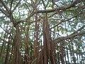 瓦磘里休閒廣場旁的老榕樹20100129.JPG