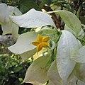 白紙扇 Mussaenda philippica Diwata -沖繩東南植物樂園 Southeast Botanical Gardens, Okinawa- (9583495608).jpg