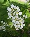 稠李 Prunus padus -芬蘭赫爾辛基 Sibelius Park, Helsinki- (35316284141).jpg