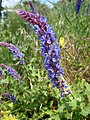 紫雲鼠尾草 Salvia Indigo Spires -匈牙利 Tihany, Hungary- (27812709195).jpg