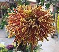 菊花-赤線金珠 Chrysanthemum morifolium 'Red Thread Golden Beads' -香港圓玄學院 Hong Kong Yuen Yuen Institute- (12085335994).jpg