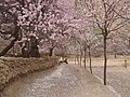 落英缤纷 - Road Covered by Fallen Apricot Flowers - 2015.04 - panoramio.jpg