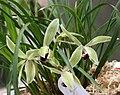 蓮瓣二紅素 Cymbidium lianpan 'Red-Second Plain' -香港沙田國蘭展 Shatin Orchid Show, Hong Kong- (12712611405).jpg