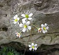 虎耳草屬 Saxifraga cuneifolia -比利時 Ghent University Botanical Garden, Belgium- (9229786230).jpg