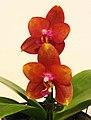 蝴蝶蘭 Phalaenopsis Mituo Sun Queen -台南國際蘭展 Taiwan International Orchid Show- (39129451930).jpg