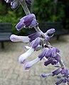 迷幻鼠尾草 Salvia divinorum -香港公園 Hong Kong Park- (19540410732).jpg