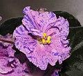 非洲紫羅蘭-噴點 Saintpaulia Christmas Glitter -香港沙田紫羅蘭展 Shatin African Violet Show, Hong Kong- (11903865996).jpg