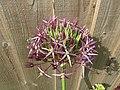-2019-06-02 Allium Star of Persia (Allium cristophii), Trimingham.JPG