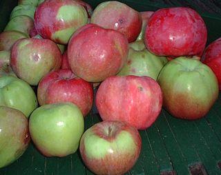 Northern Spy Apple cultivar