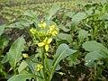 0152jfVegetable plantations Taal Pulilan Bulacanfvf 01.jpg