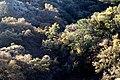 05n - Patagonia Mts, oaks in spring -03 (16571169543).jpg
