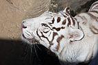 08-2011. Panthera tigris tigris - Texas Park - Lanzarote -TP04.jpg