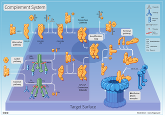 Complement system - Reaction Cascade of the Complement System: Classical, Alternative and Lectin Pathway, Amplification Loop, Terminal Pathway, and Membrane Attack Complex.