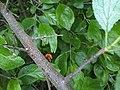 11Harmonia axyridis.jpg