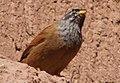 12)faune d'El kantara(Algerie).jpg