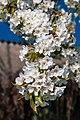 18-04-22-Kirschbluete RRK1735.jpg