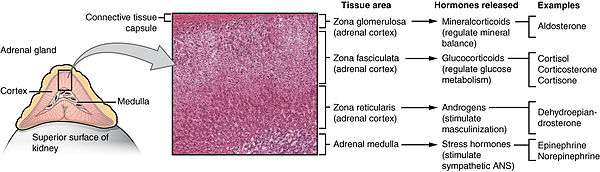 adrenal gland - wikipedia, Human Body