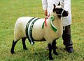 2003 champion ewe (Clun Forest breed).jpg