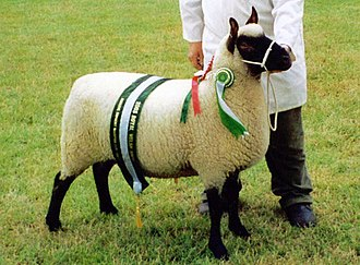 Clun Forest sheep - Image: 2003 champion ewe (Clun Forest breed)